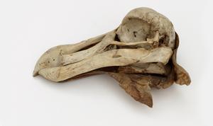 Oxford Dodo Skull