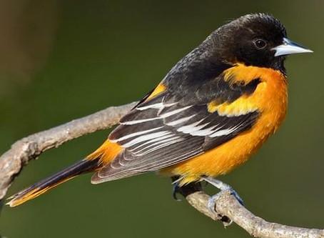 Virtual Birding