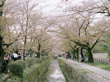 四月の桜が見たい