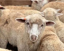 Sheep crop.jpg