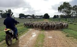 Sheep edit.jpg