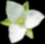 エンレイソウの花.png