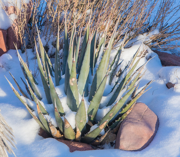 Agave utahensis ssp.kaibabensis Grand Canyon Form 6000ft