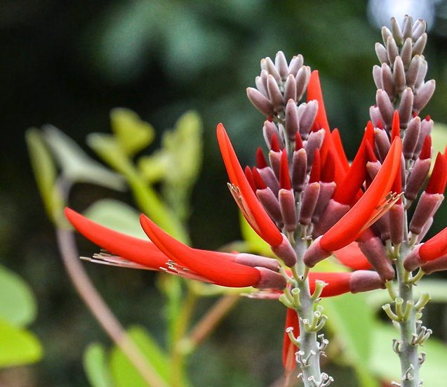Coral Bean - Erythrina flabelliformis