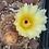 Thumbnail: Notocactus schlosseri