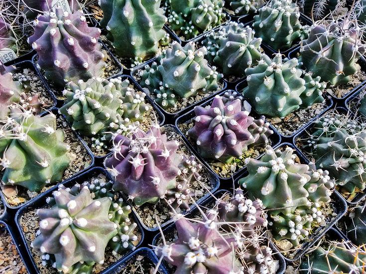 Echinocereus trig. White Sands x E. moj. inermis Giant Spineless Claret Cup