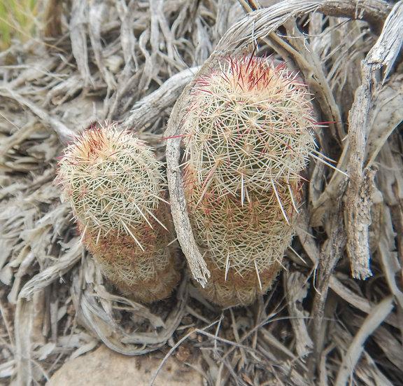 Echinocereus viridiflorus chloranthus