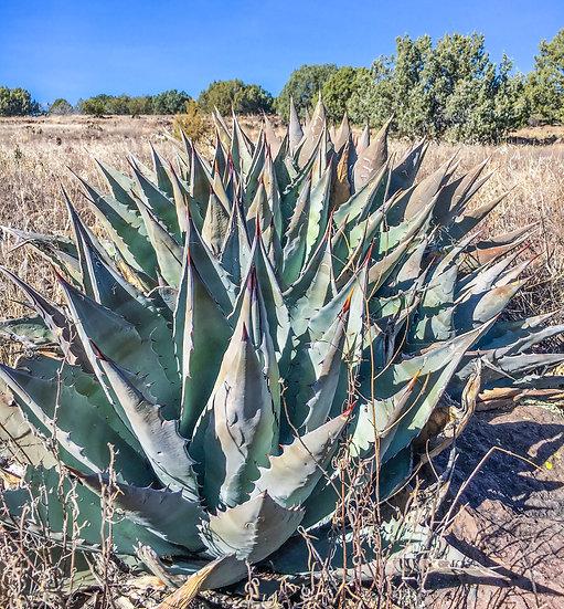 Agave parryi x Agave chrysantha Sedona, AZ