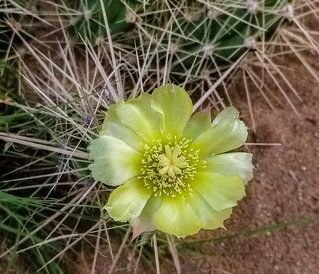 Grusonia emoryi New Mexico Form