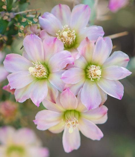 Cylindropuntia x kleinii Santa Rosa, NM
