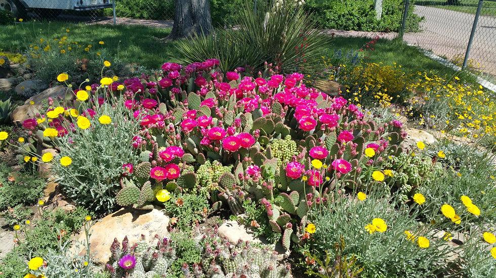 Opuntia basilaris x Opuntia polyacantha