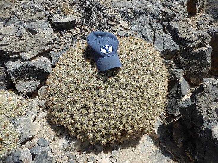 Echinocereus mojavensis  Rachel, NV