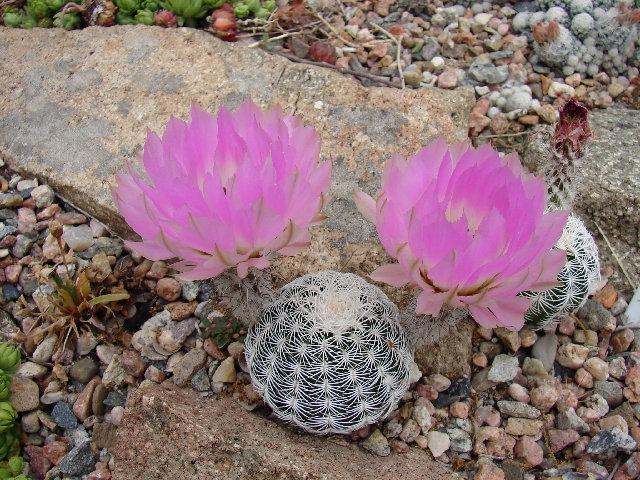 Echinocereus reichenbachii Kimble county, TX