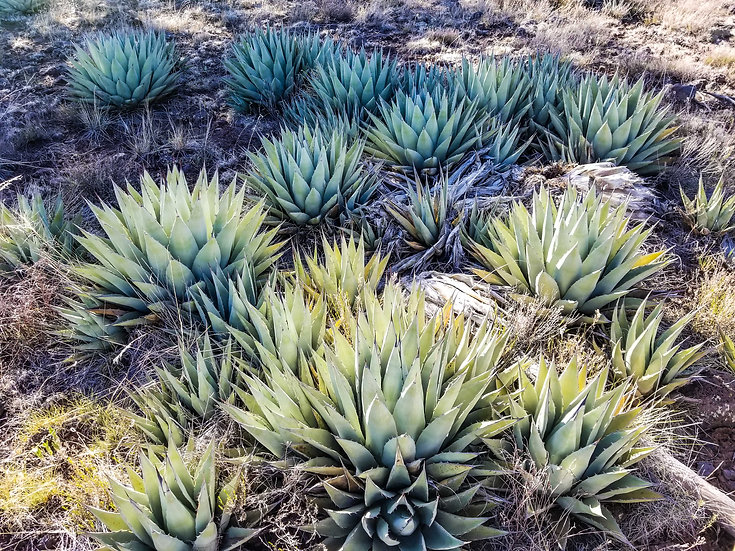Agave parryi Williams, AZ 8200ft