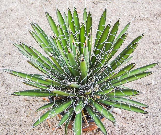 Yucca filifera
