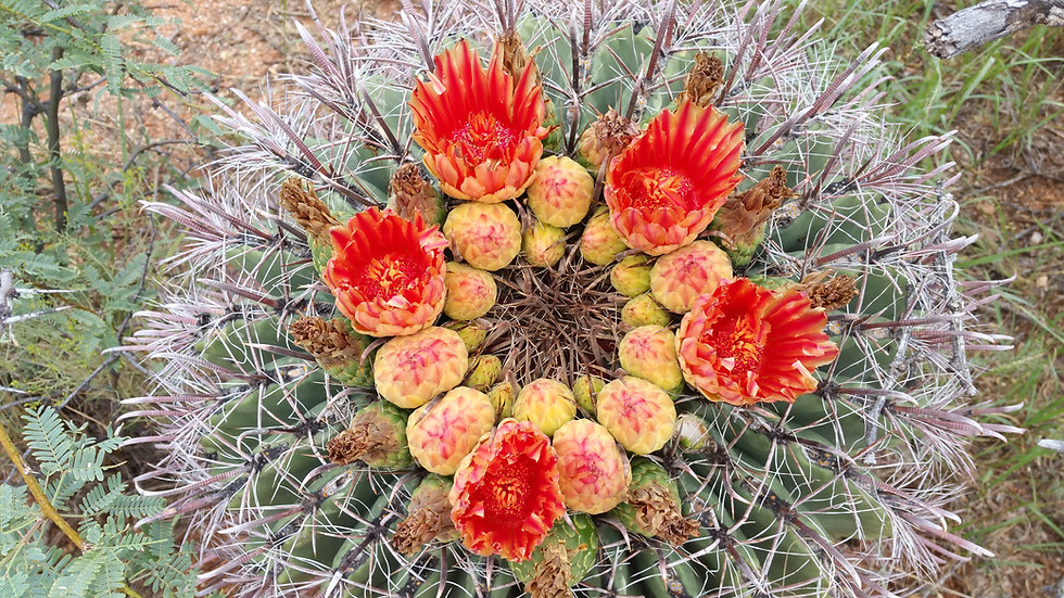 Ferocactus wisilizeni 'Red Flowers'