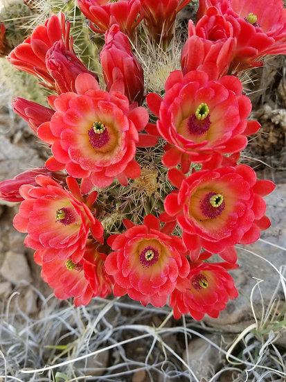Echinocereus coccineus Red Rock NM