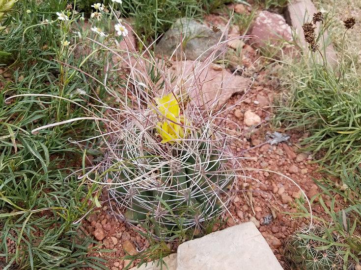 Ferocactus hamatacanthus 'Albuquerque'