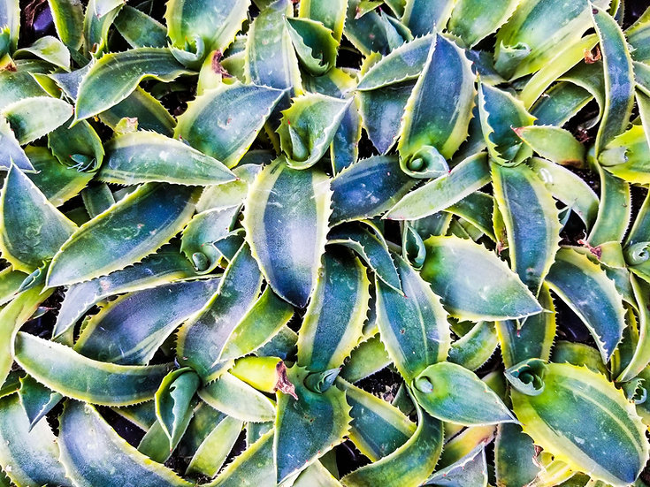 Agave 'Ripple Effect'
