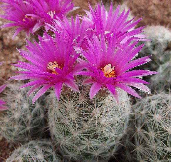Escobaria vivipara var. neomexicana Taos, NM 7000ft