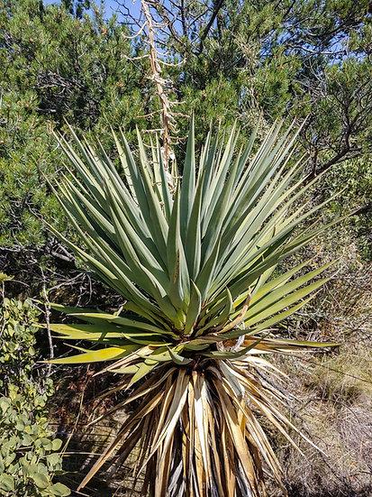Yucca x schottii Hatchita, NM