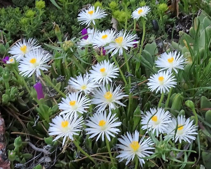 Bergeranthus jamesii 'White form'