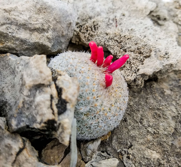 Epithelantha micromeris 'Button Cactus' SB1327