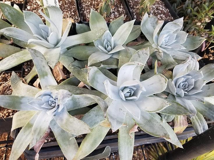 Dudleya pulverulenta arizonica