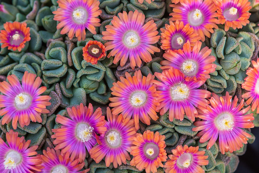 Aloinopsis x 'Psychedelic' (#38)