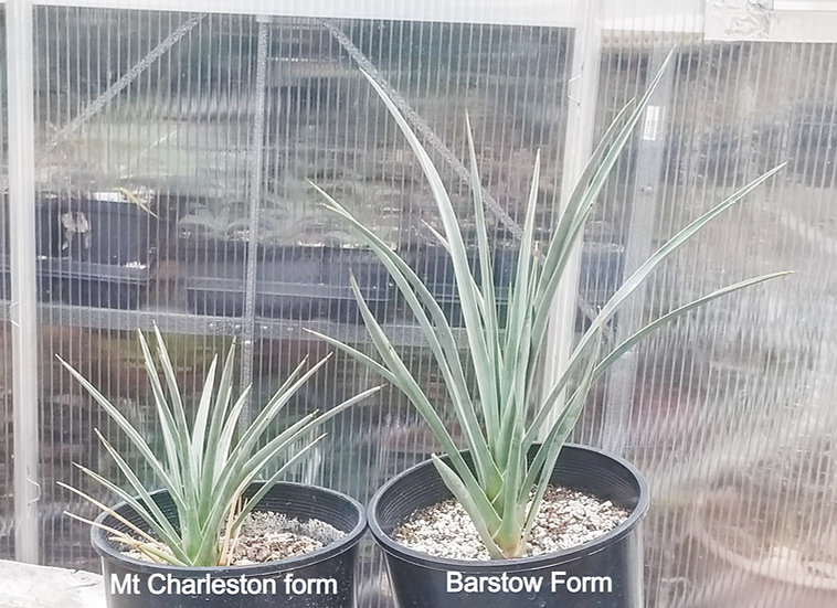 Yucca brevifolia 'Joshua Tree' Barstow form