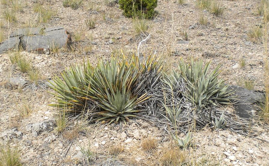 Yucca nana  San Juan Co., UT