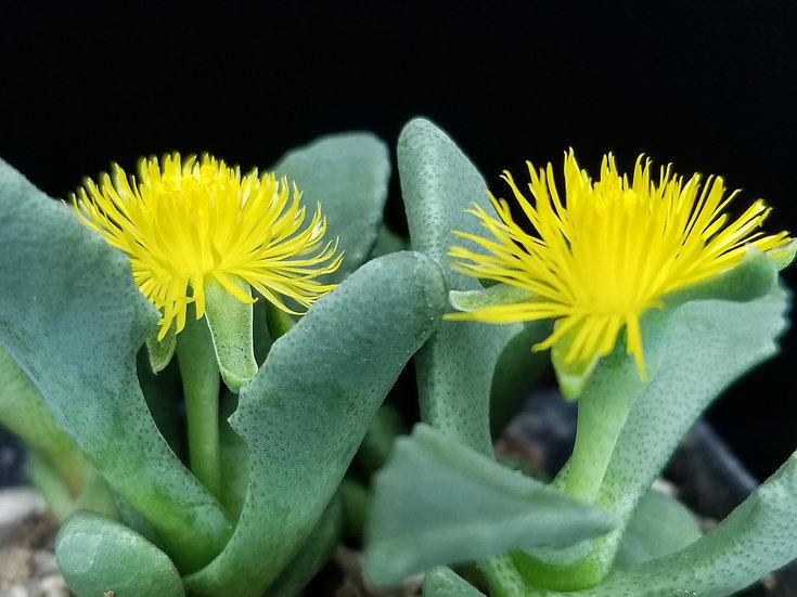 Stomatium pyrodorum