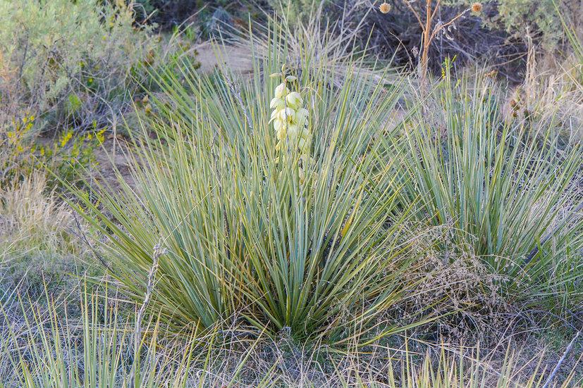 Yucca glauca Pueblo, CO 5000ft