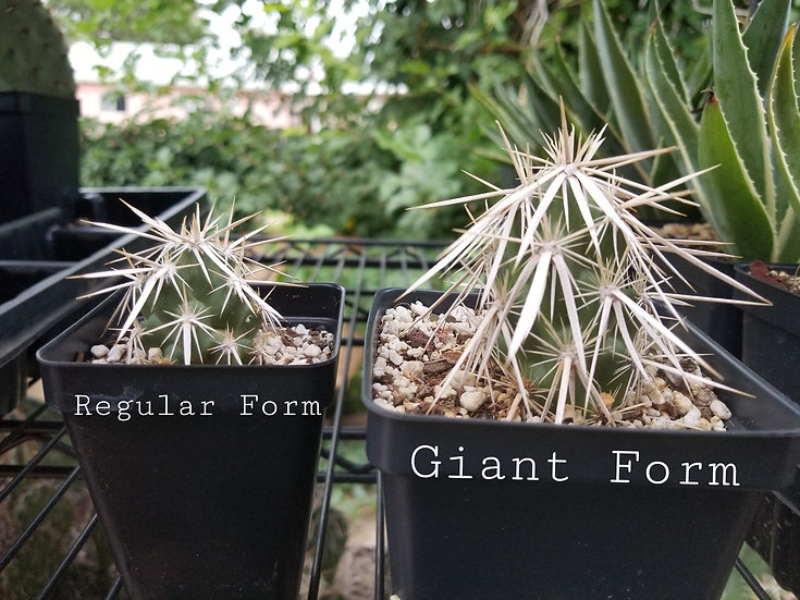Grusonia clavata Giant form