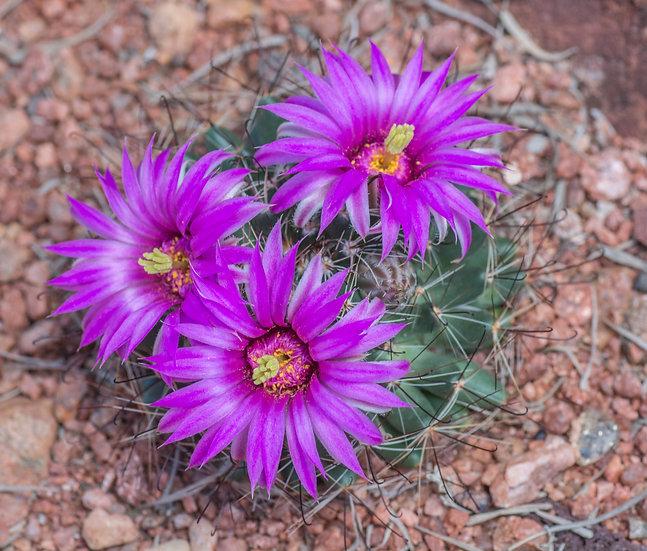 Mammillaria wrightii Santa Fe, NM 6200ft