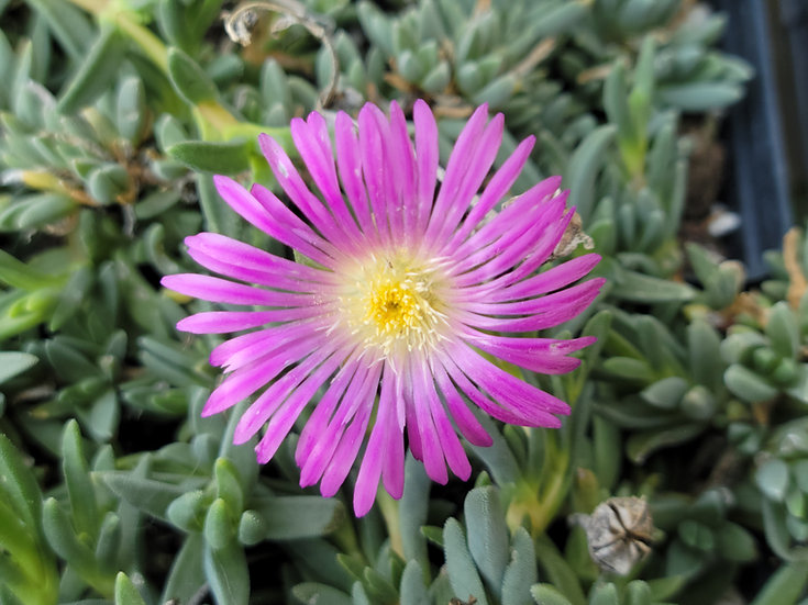 Delosperma Purple-Pink ex FIRE SPINNER®