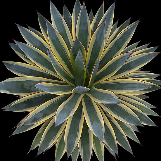 """Agave """"snow glow"""""""