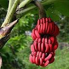 bananes rouges.jpg