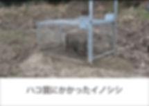 ハコ罠にかかったイノシシ_アートボード 1.jpg