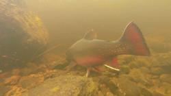 Brookie underwater