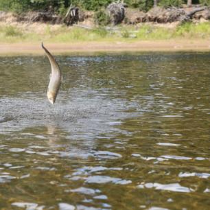 Leaping Flowers salmon (rob).jpg