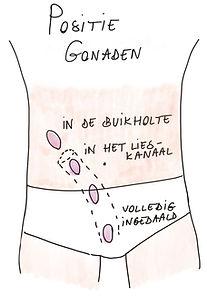 Positie_Gonaden.jpg