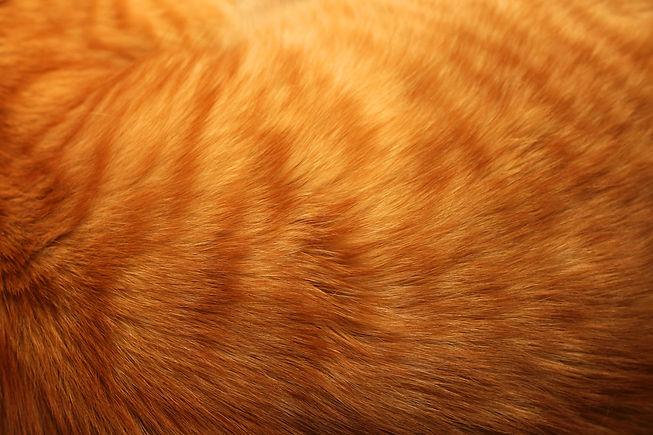 Image of ginger cat's fur background.jpg