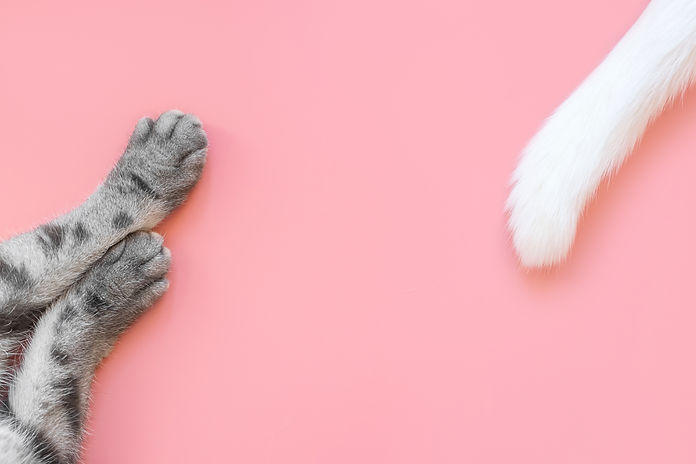 Paws of gray cat and white tail with bla