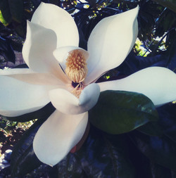 fleurs-de-magnolia