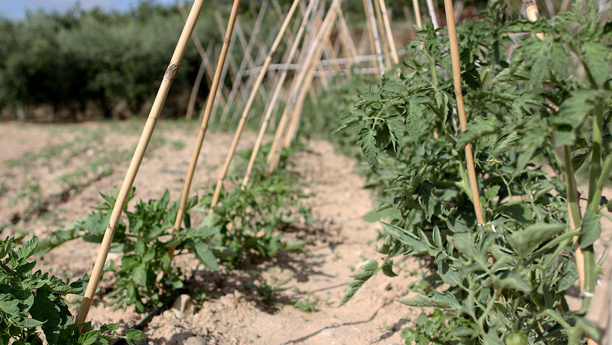 Encanyar hortalisses / Encañizar hortalizas