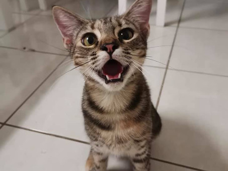 Feline Resorptive Lesions