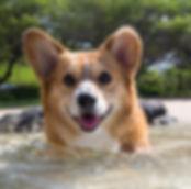 Rooney The Gint Hamster Dog Keiko Corgi