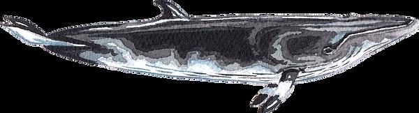 minke whale png.png
