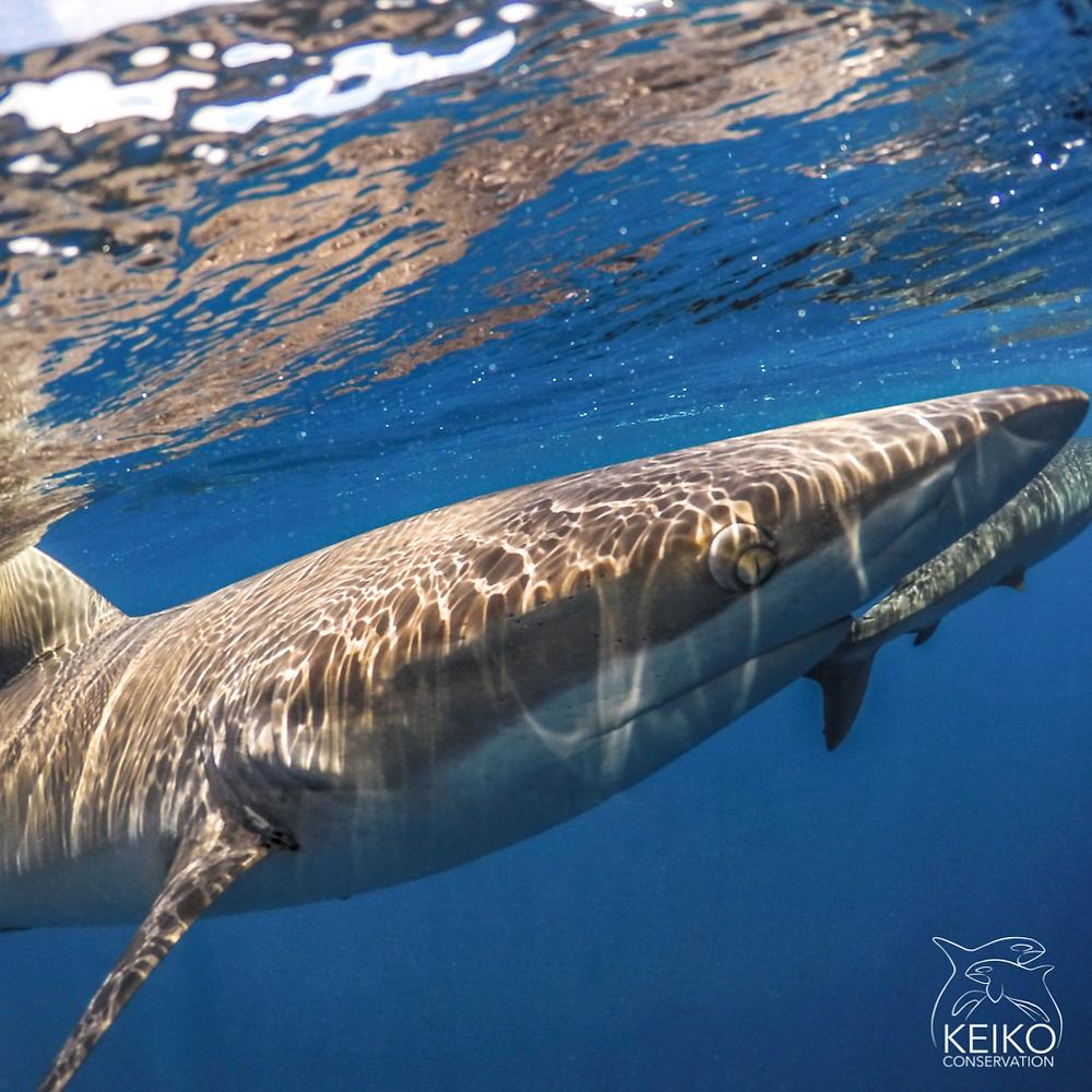 silky shark galapagos